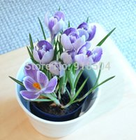 pots - 50pcs bag Crocus sativus seeds potted seed flower seed variety complete the budding rate Mixed colors