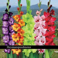 Wholesale Different Perennial Gladiolus Flower Seeds Professional Pack Seeds Pack Rare Sword Lily Seeds NF563