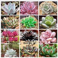 Wholesale 30 OFF Echeveria MIX Seeds Bonsai Succulent Plant Seeds