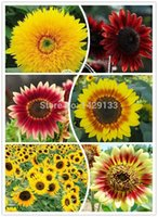 sunflower seed - Flowers Fortune Sunflower seeds Flowers seeds Red sunflower Bonsai Flowers Four seasons