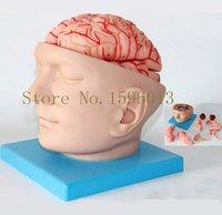 arteries head - HOT Head with Brain And Brain Artery Model Anatomy Brain with Artery Model