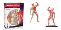 anatomy models - 4D Plastic Human Body Educational Assembling Toys Human Anatomy Muscle Model Human Organ Medical Use