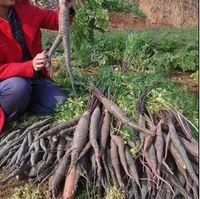 Cheap Vegetable fruit seeds Purple Dragon Carrot seed Anti-aging ginseng nourishing Bonsai plants Seeds for home & garden #71209