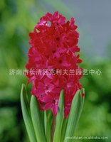 Wholesale Dutch hyacinth bulbs imported red Jane Persia