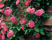 Купить Розовые садовые цветы-3000pcs набор Восхождение Стиль Темно-розовый цвет Роуз Цветок Семена Дом Сад Diy Разумные цены выбора и хорошее качество