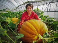 Organic big pumpkins - Super Big Pumpkin seeds Giant Pumpkin Seeds Vegetable Seeds Seed particles