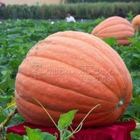 big pumpkins - 20 Pumpkin Dills Atlantic Giant Seeds big big very big TT049