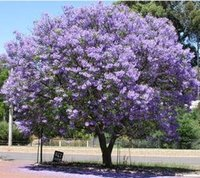 beauty add - 50 Paulownia Seeds princess tree or empress tree impressive and add beauty to your gard SS042