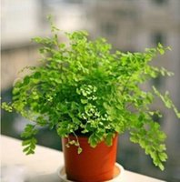 Wholesale 10 bag Adiantum seeds potted seed flower seed variety complete the budding rate