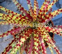 Wholesale 100 Seeds Hechtia Sp Tehuacan seeds rare bromeliad succulent cactus Not hetchia or agave