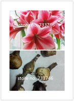 Wholesale 15pcs a style amaryllis flower bulb real and right with extra mysterious gift