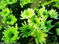 Wholesale New Arrival Kinds chrysanthemum seeds Blooming Plant Flower seeds Flowers