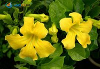 Fencing, Trellis - 10 Seeds Macfadyena Cats Claw Vine Yellow Trumpet Vine Showy Climber For Fence Or Trellis drought Tolerant Loves Heat