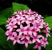 Wholesale Pentas Lanceolata Flower seeds Starry flowers Seeds Purify Indoor Outdoor Bonsai Air Mixing colors Plant