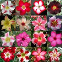 bonsai - 100 Genuine Fresh Mix color Adenium Obesum Seeds SEEDS Bonsai Desert Rose Flower Plant Seeds
