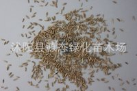 Wholesale quality seeds Evergreen Evergreen lawn seed garden villas turf seed evergreen