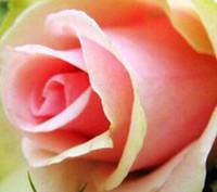 3000pcs комплект Розовый со светло-зеленым двойным цветом Роуз цветочным семенем Home Garden Diy Разумная цена выбора и хорошее качество