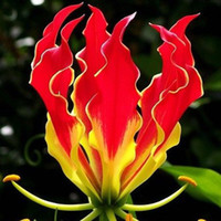 Wholesale A Package Pieces Garland Flame Lilium brownii Flower Seeds Balcony Bonsai Courtyard Plant Flowers Lily Seeds