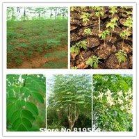 Wholesale 100 Real chinese Moringa oleifera seeds Rare Lamu bonsai sementes outdoor garden tree planters DRUMSTICK Miracle Ben Oil