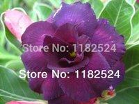 adenium obesum seed - 20 SEEDS Fresh Rare quot Moungdum quot Adenium Obesum Seeds Bonsai Desert Rose Flower Plant Seeds