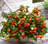 acid fruits - 200pcs Red lanterns seeds red berry fruit acids Pickle groundcherry bonsai fruit seeds rare plant seeds