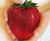 Cheap Fruit Seeds Giant Strawberry Seeds Best   fruit plant