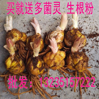 Wholesale Lily bulb imported perfume lily bulb with bud delivery package survival package flowering with Potted Lily Bulb