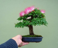 Tree Seeds big garden pots - 25Albizia Julibrissin Tree Seeds MIMOSA PERSIAN SILK TREE Mini potted bonsai DIY home garden big promotion SS057