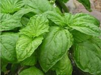basil seeds - 400 Large Leaf Italian Basil Seeds Impressive TT086