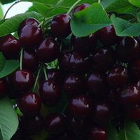 decorative fruit - 10pcs Delicious Sweet Cherry Mazzard Cherry Prunus avium Fresh Fruit Tree Seeds Plants Vegetables Fruits