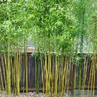 Tree Seeds bamboo gardening - 50 Chinese Bamboo Seeds Perfect Ornamental DIY Home Garden Plant Edible Bamboo Shoots SS097