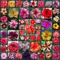 adenium obesum seed - 150 SEEDS Multi colored Adenium Obesum Seeds Bonsai Desert Rose Flower Plant Seeds Mixed