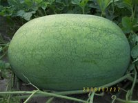 Wholesale 50g Green Paper oval watermelon High yield Good quality watermelon seeds Lvjufeng