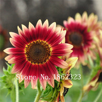 sunflower seed - 100pcs Helianthus Red Sunflower Seeds flower seeds Bloom Garden Heirloom Seeds Bonsai Plants Seeds OM