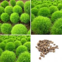 Wholesale 1pack Lowest Price Rare Kochia Scoparia Seeds Grass Seeds Showy E Z Grow Rapid Exotic Hardy