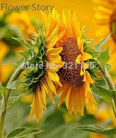 sunflower seed - 100 Italy Tuscany Sunflower Seeds Splendid and Endless Beauty Good for Health