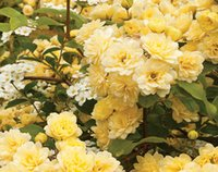 bank seed - 6000pcs a set Heirloom Lady Banks Yellow Climbing Color Rose Flower Seed HOME GARDEN DIY very rare and reasonable choice