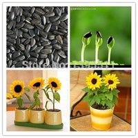 sunflower seed - 100pcs bag mini sunflower seeds Dwarf sunflower seeds sunflower series height cm Flower Seeds for flower pot planters easy grow for baby