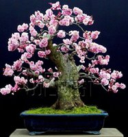 Cheap Seeds Best sakura bonsai