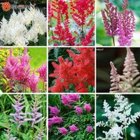 astilbe flower - 6 Color Available Categories Astilbe Chinensis Seeds Balcony Garden Potted Chinese Astilbe Flower Seeds A Pack