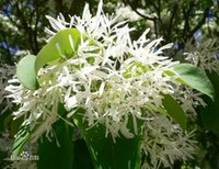 Wholesale 1 pack about pieces Chionanthus retusus tassel Blossoms tree Seeds by China Post PC