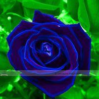 Wholesale 1 Professional Pack seeds pack Purple Blue Rose Big Flowering Plants Strong Fragrant Dazzling Garden Flower NF410