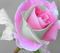 3000pcs комплект Сильный ароматный розовый серый цвет Двойной цвет Роуз цветок семян Главная сад Diy Разумная цена выбора и хорошее качество