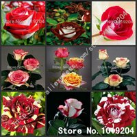 Wholesale Rare bonsai seeds colorful double color rose seeds spots rose seeds and plants varieties mix