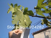 Wholesale the order for fig cuttings each of fig varieties