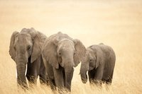 big calves - New Fashion Wall Decor Posters Elephant calves Printed x75cm Big Size Poster Wall Sticker