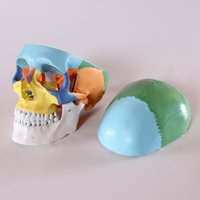 anatomical parts - Didactic Colored Human Skull Anatomical Model Medical Quality Life Sized quot Height Parts