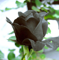Wholesale China Rare Black Rose Flower Piece Seeds black roses Losing money earned reputation