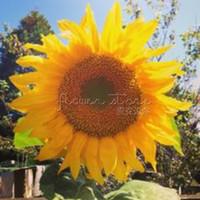 sunflower seeds - 20 Mammoth Russian Sunflower seeds easy to grow TT247
