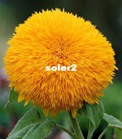 Wholesale Teddy Bear Sunflowers seeds Sunflower seeds Balcony Potted Plants Garden Bonsai Flower seeds Easy to plant